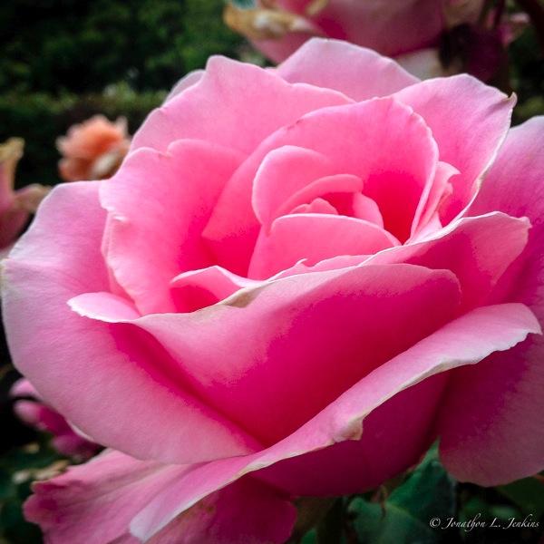 IPhone Roses5