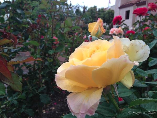IPhone Roses Original4